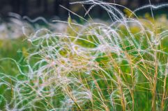 Beautiful bush feather grass. Growing in the field Royalty Free Stock Photos