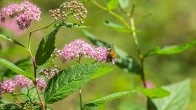 Beautiful bush Filipendula Royalty Free Stock Photo