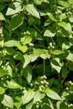 Beautiful bush of flowering jasmin Royalty Free Stock Images