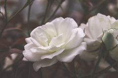 Beautiful bush flowers, white garden roses in the evening light on a dark background. Gothic style. Beautiful bush flowers, white garden roses in the evening stock images