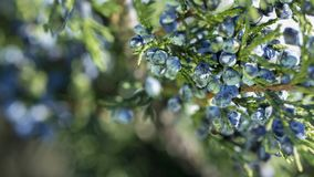 Beautiful bush of a juniper with berries. Under the snow royalty free stock photos