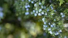 Beautiful bush of a juniper with berries. Under the snow royalty free stock photography