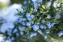 Beautiful bush of a juniper with berries. Under the snow royalty free stock image