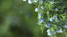 Beautiful bush of a juniper with berries. Under the snow stock photography