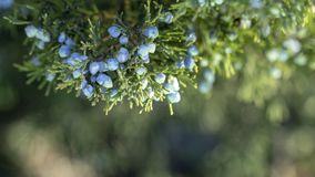 Beautiful bush of a juniper with berries. Under the snow stock photos