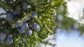 Beautiful bush of a juniper with berries. Under the snow stock image