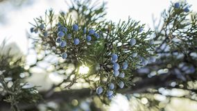 Beautiful bush of a juniper with berries. Under the snow stock photo