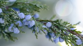 Beautiful bush of a juniper with berries. Under the snow stock images