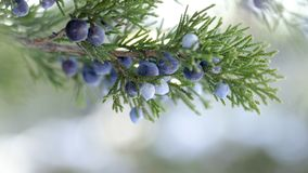 Beautiful bush of a juniper with berries. Under the snow royalty free stock images