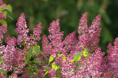 Beautiful bush of lilac in spr Royalty Free Stock Photo