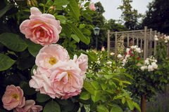 Free Beautiful Bush Of Pink Roses In The Garden In Baden, Austria. Blooming Rosary. Royalty Free Stock Photo - 57611605