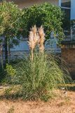 Beautiful Bush of pampas grass on the lawn in the yard in the summer on a Sunny day.  Stock Photography