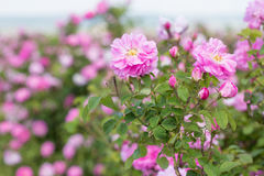 Beautiful bush of pink roses in a spring garden. Flower field. Field of tea rose. Rose garden. Royalty Free Stock Photos
