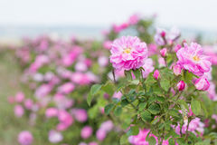 Beautiful bush of pink roses in a spring garden. Flower field. Field of tea rose. Rose garden. Royalty Free Stock Photo