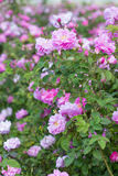 Beautiful bush of pink roses in a spring garden. Flower field. Field of tea rose. Rose garden. Royalty Free Stock Image