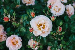 A beautiful bush with roses. royalty free stock image
