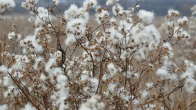 Beautiful bush in steppe area with white fluffy flowers in late autumn stock video footage