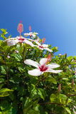 Beautiful bush white flowers with blue sky background Stock Image