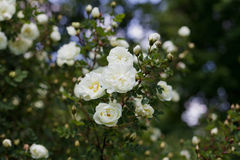 Beautiful bush with white flowers of wild english rose in the garden, lovely landscape of nature Stock Photos