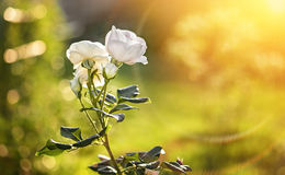 A beautiful Bush of white roses in the glare and the rays of the sunset. The horizontal frame Royalty Free Stock Photos