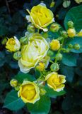 Beautiful bush of yellow roses in a spring garden. Rose garden stock image
