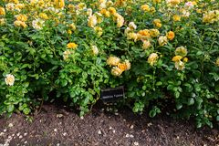 Beautiful bush of yellow roses in a spring garden. Rose garden. Some orange yellow roses in the garden royalty free stock image
