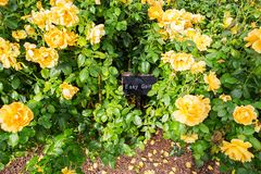Beautiful bush of yellow roses in a spring garden. Rose garden. Some orange yellow roses in the garden royalty free stock photo