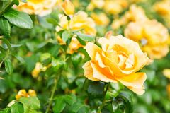 Beautiful bush of yellow roses in a spring garden. Rose garden. Some orange yellow roses in the garden stock images