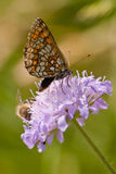 Beautiful buterfly on a clover Royalty Free Stock Image