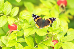 Beautiful buterfly, insect on green nature floral background.  royalty free stock images