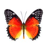 Beautiful butter, Red Lacewing over wings in natural color profile (Cethosia biblis) with super vivid orange to red and black. Beautiful butter, Red Lacewing royalty free stock image