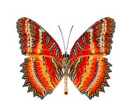 Beautiful butter, Red Lacewing under wings in natural color prof Royalty Free Stock Images