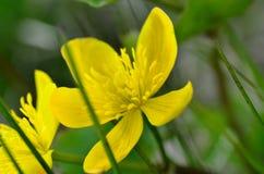 Beautiful buttercup flower in summer wilderness. Macro photo Stock Image