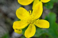 Beautiful buttercup flower in summer wilderness Royalty Free Stock Image