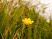 Beautiful Buttercup in Spring Time Isolated and in the Wind Sway Royalty Free Stock Photos