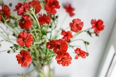 Beautiful buttercups Bush flowers in a vase on a table . Bouquet of red flower. Decoration of home. Wallpaper and. Beautiful buttercups Bush flowers in a vase on Stock Image
