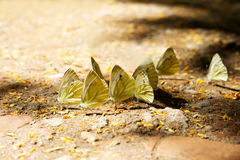 beautiful butterflies Royalty Free Stock Photos