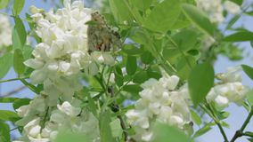 Beautiful butterflies collect pollen from the flowers of the white acacia tree. Aglais urticae Nymphalis and green leaves against stock footage