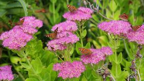Beautiful butterflies feeding. Together on nectar from pink flowers stock footage