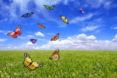 Beautiful Butterflies Flying Free in an Open Field Stock Photography
