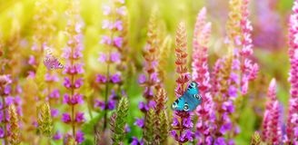 Beautiful butterflies on meadow flowers. Butterflies on meadow flowers of salvia. Purple flowers lit by yellow sunlight in flower field background royalty free stock image