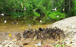 Beautiful butterflies in nature , Ban Krang Camp , Phetchaburi , Thailand  Royalty Free Stock Photos