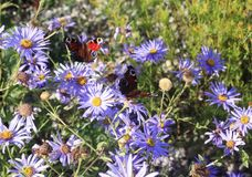 Beautiful butterflies sitting and feeding on flower buds in a colorful meadow in summer royalty free stock photos