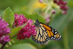 Beautiful Butterfly. Beautiful vibrant monarch butterfly resting on a butterfly bush Royalty Free Stock Photos