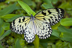 Beautiful Butterfly. A beautiful wild butterfly known as Papilio Demoleusfly Stock Photo