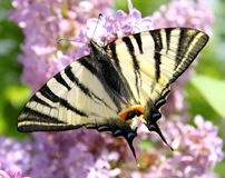Beautiful butterfly Stock Images