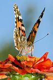 Beautiful Butterfly. A beautiful Butterfly sitting on a red flower Royalty Free Stock Images