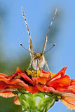 Beautiful Butterfly. A beautiful Butterfly sitting on a red flower Royalty Free Stock Image