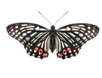 Free Beautiful Butterfly Stock Image - 19945171