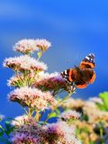 Beautiful butterfly. On of pink flowers Royalty Free Stock Photos